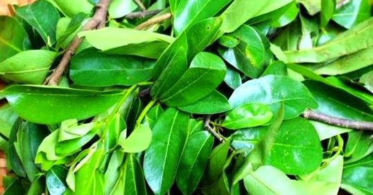 Manfaat daun sirsak untuk kanker, tumor, atau kista - Info ...