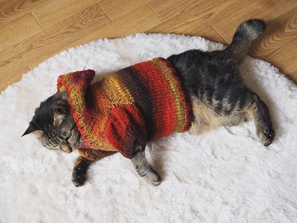 セーターを着て横たわるキジトラ猫