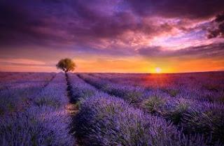 Foto Bunga Lavender Ungu yang Indah 9