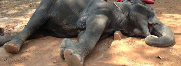 Gajah Mati Karena Serangan Jantung Dan Kepanasan Setelah Mengangkut Wisatawan Di Angkor Wat Kamboja