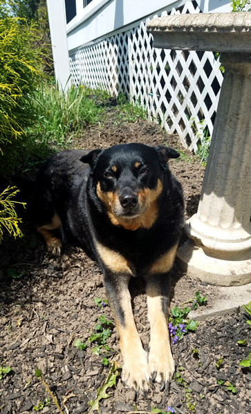 image of Zelda the Black and Tan Mutt lying in the sunshine in a dug-out hole in a flower bed beside our back deck