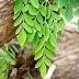 Moringa Bitkisinin Getirdiği Faydalar