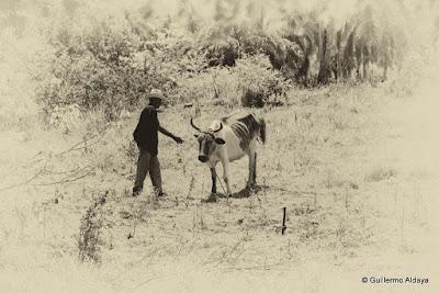 La vaca flaca, by Guillermo Aldaya / AldayaPhoto