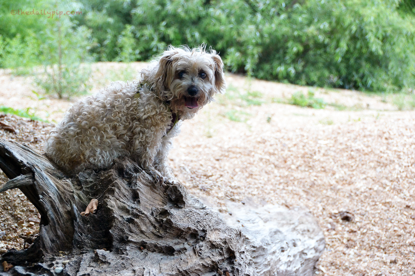 Dog sitting on a tree stump blending in with her environment