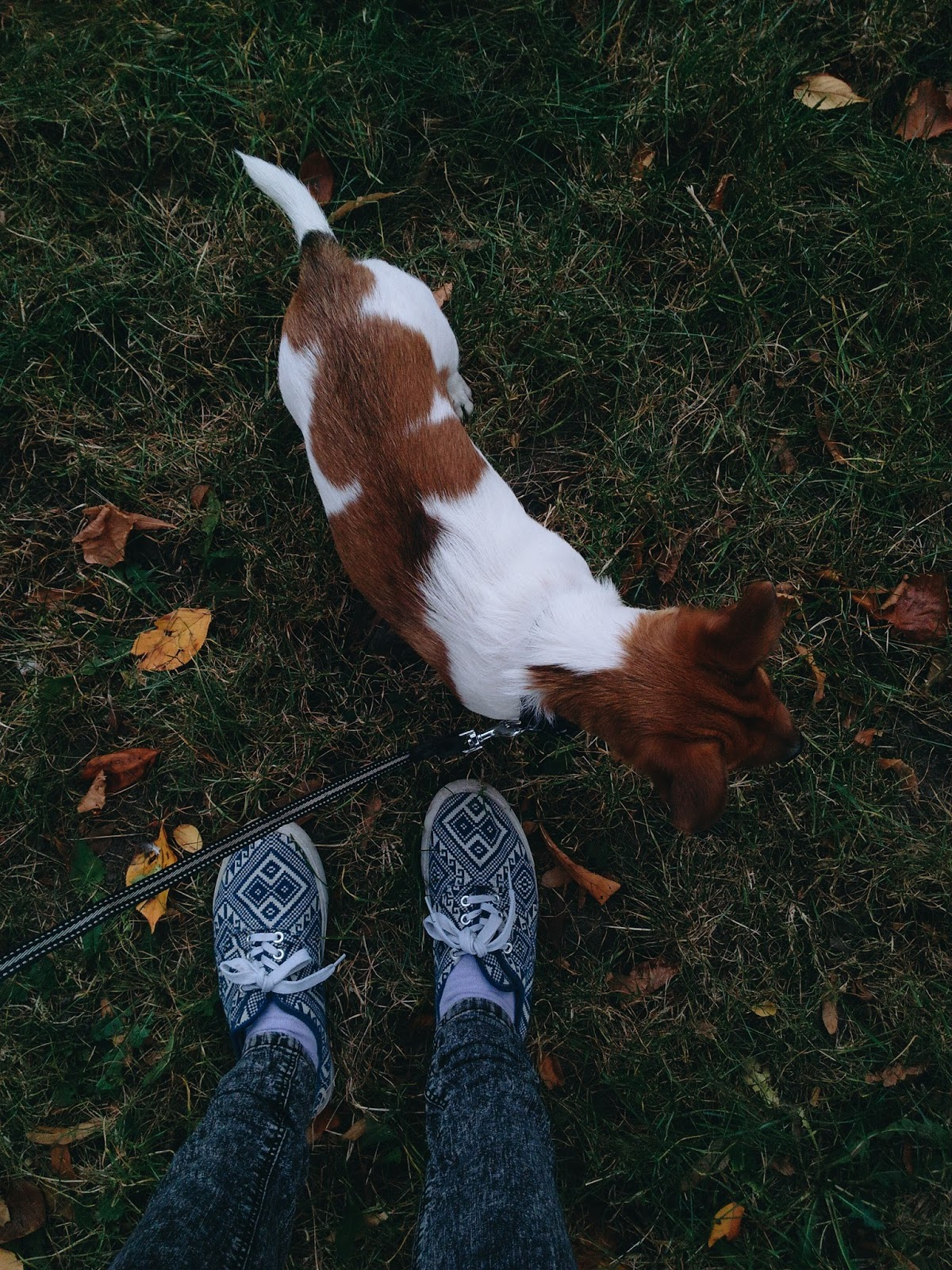 Venčení psa - Jack russel teriér