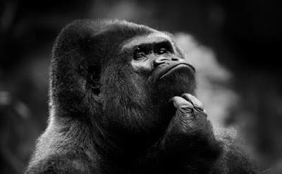 gorila negro pensando