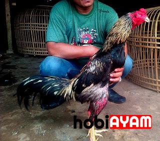 Tips Mengenali Ciri Ciri Ayam Bangkok (BK) Super