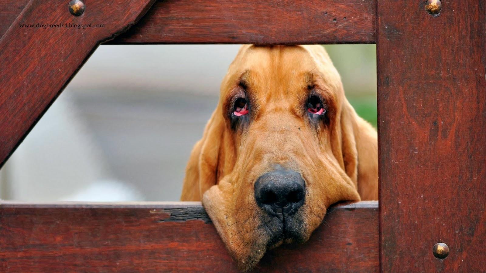 Cute Puppies Wallpaper Backgrounds Dogbreeds4 Blogspot Bloodhound