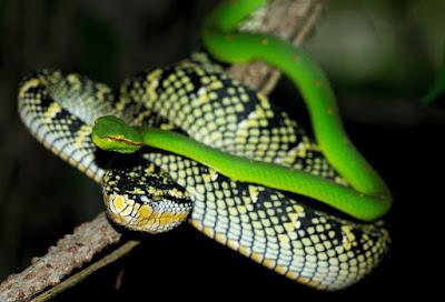 ular hijau lidah biru, ular hijau laut, ular leher hijau, ular kepala hijau leher merah, ular hijau kepala lancip, ular hijau bangkai laut, ular hijau melahirkan, ular hijau mata merah, ular hijau mematikan, ular hijau masuk rumah pertanda, ular hijau matanya banyak,