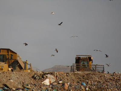 Garbage trucks and birds at the landfill