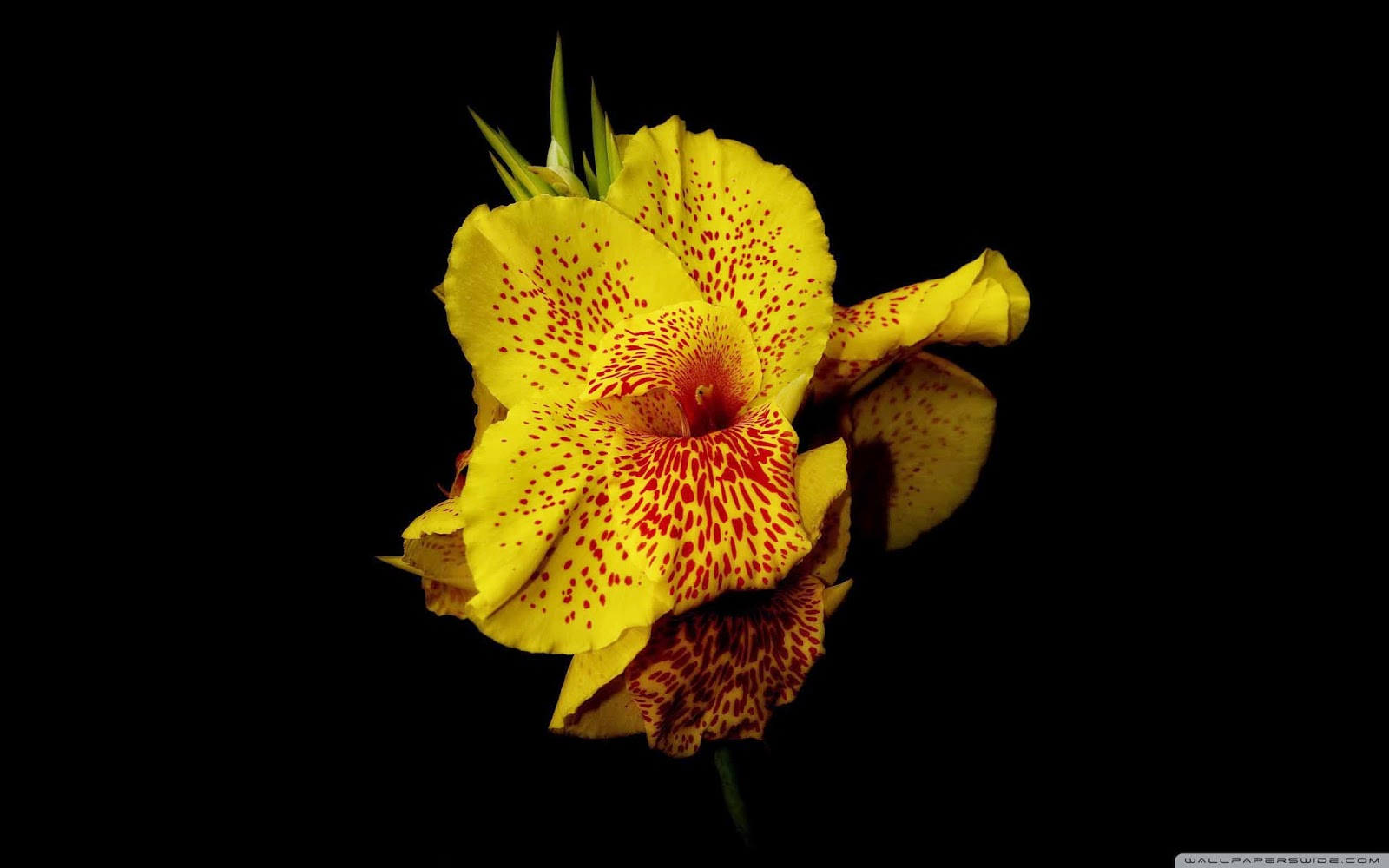 yellow canna wallpaper