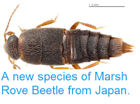 http://sciencythoughts.blogspot.co.uk/2013/08/a-new-species-of-marsh-rove-beetle-from.html