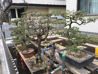 A number of exquisitively pruned bonsai trees on show in front of a house in the neighbouhood