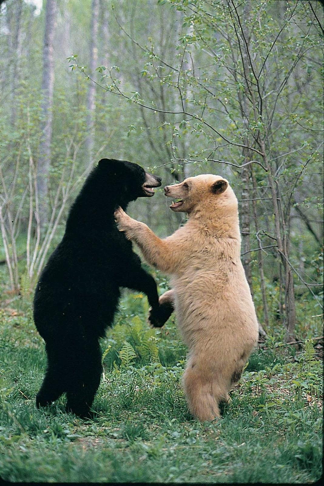 The Kermode Bear Spirit Bear Of British Columbia The