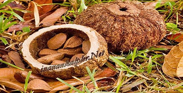 Brezilya Fındığı Nedir - www.inanankalpler.net