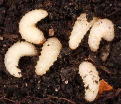 Vine weevil larvae lying on soil