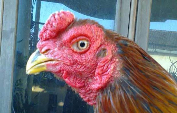 Katuranggan Jengger Ayam Bangkok