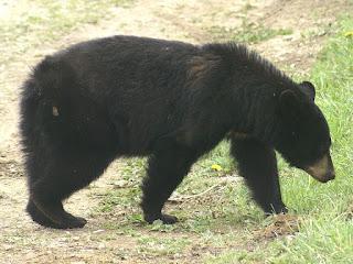 Ours noir - Ursus americanus