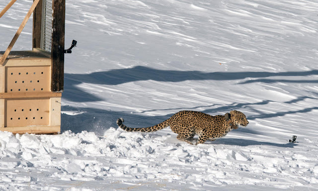 A Persian leopard makes her debut into the wild—for the second time