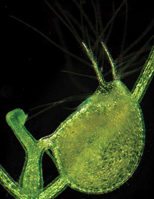 Carnivorous plant's prized genetic treasures, unveiled