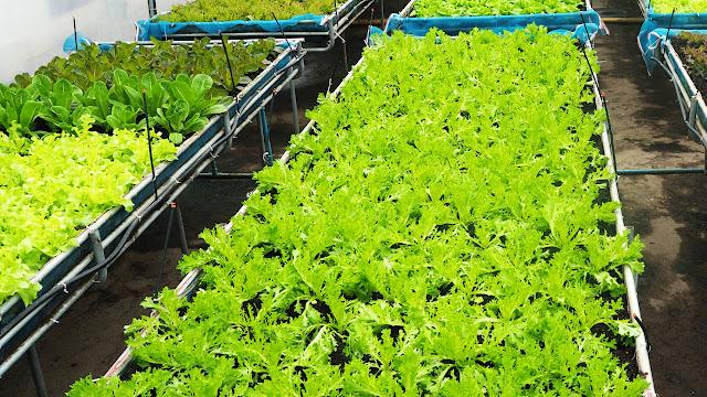 Pertanian Tanaman Organik