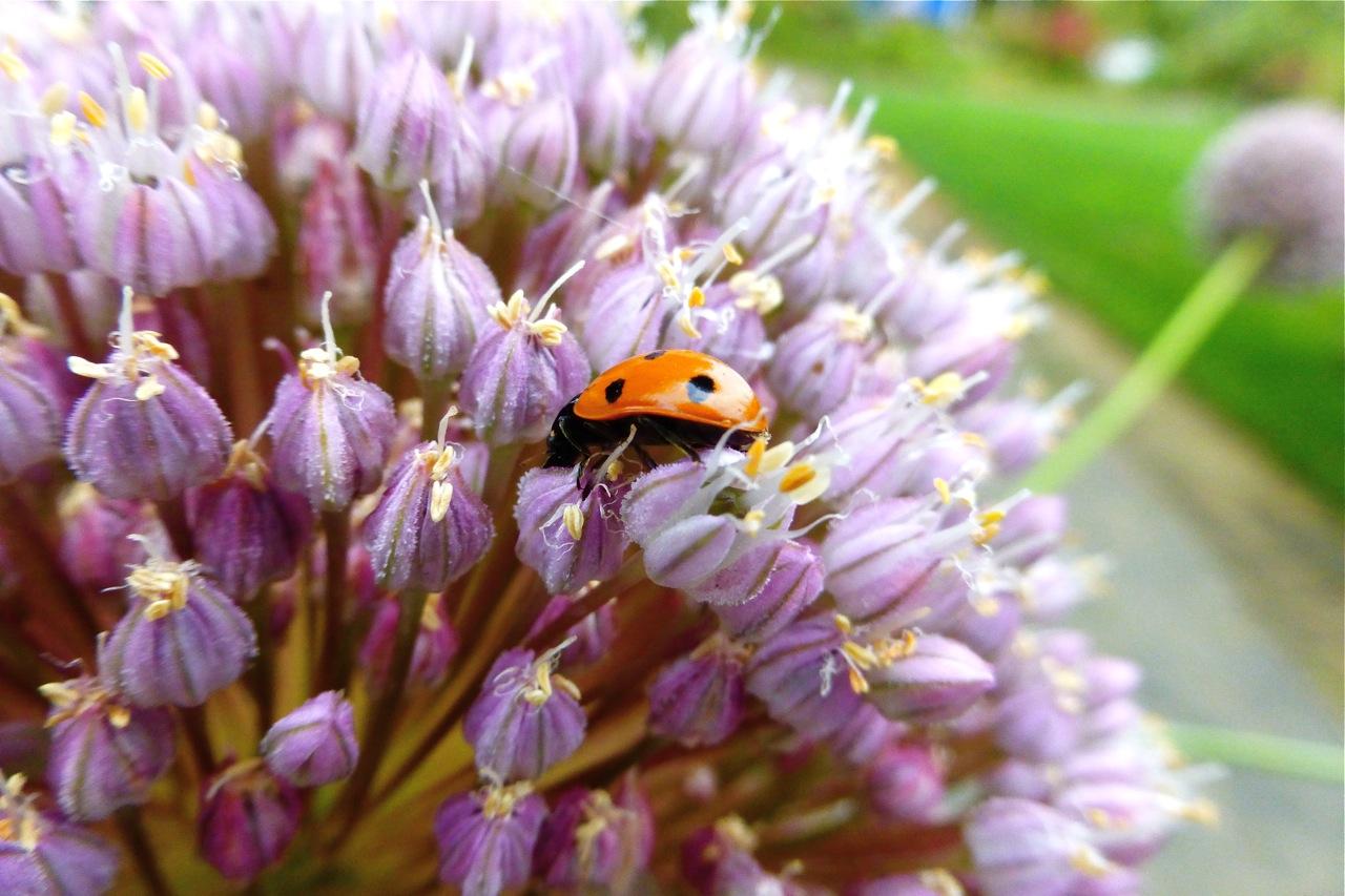 Owen Rose Garden, ladybug, rose garden