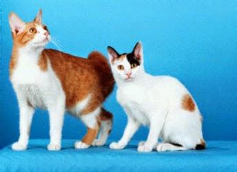 gato-bobtail-comportamiento-personalidad