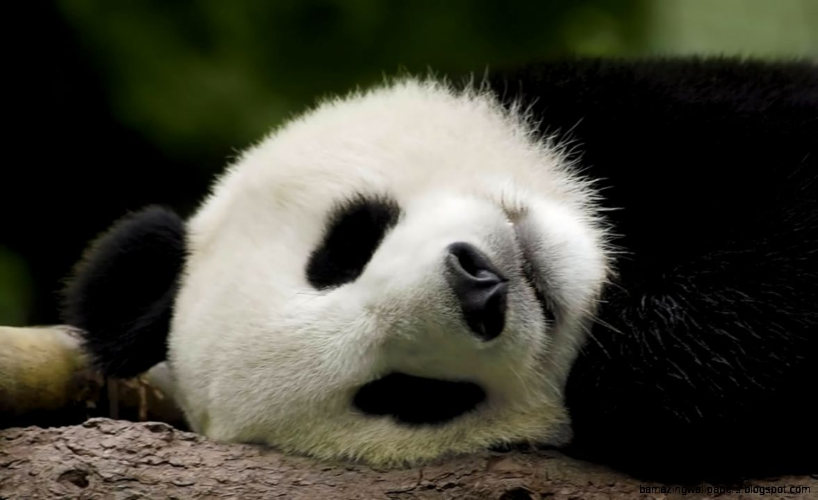 Cute Baby Panda Background | Amazing Wallpapers