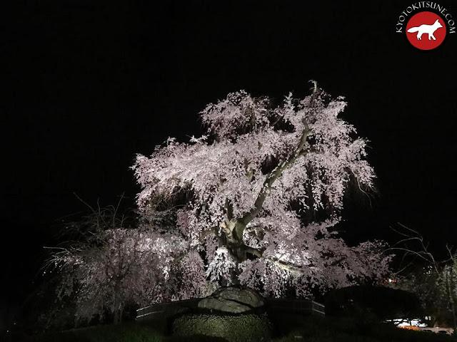 Le plus vieux sakura de Kyoto à 1000 ans