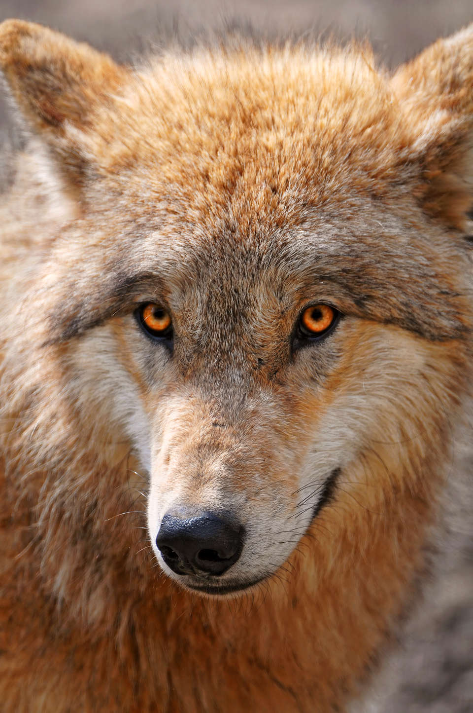 Image result for wolf orange eyes
