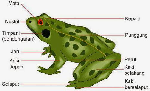 Image result for alat gerak katak