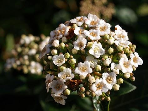 Cabezuela de flores de Viburnum tinus