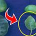 A que no sabias que hojas de aguacate debes usar y como preparar el té para sacar el 100% de sus propiedades