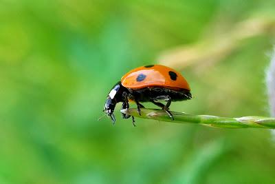 Tierfotos - Insekten - Käfer - Marienkäfer