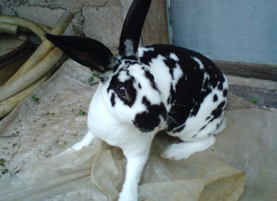 Jenis Kelinci Checkered Giant Rabbit