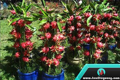 How to Grow Dragon Fruit Nursery, Planting, Fertilization, Maintenance and Harvesting