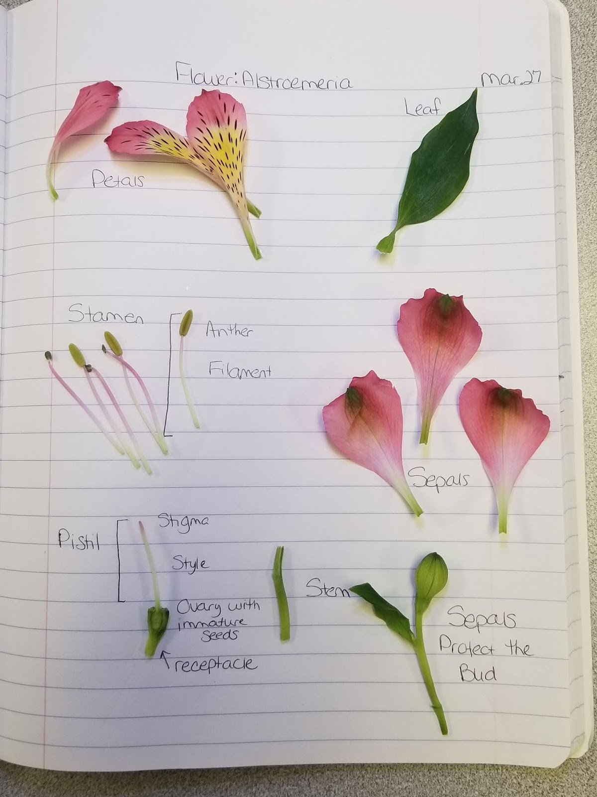 Zephyr's Little Pond: CPALMS: Flower Dissection