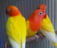Burung Lovebird Lutino Mata Merah