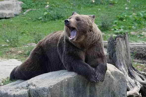 top-5-tips-to-survive-Bear-attack-افضل-خمس-نصائح-للنجاة-في-مواجهة-دب