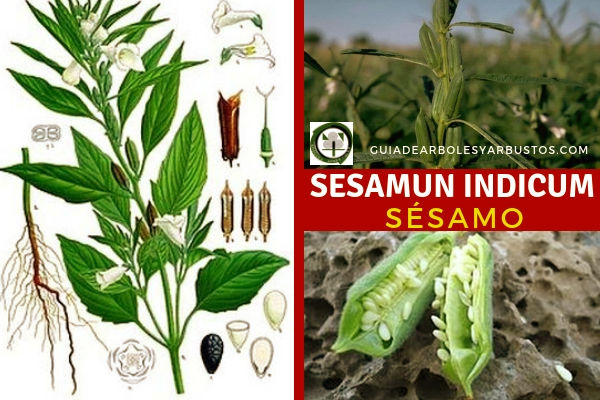 Sesamun indicum, sésamo planta Pedaliáceas de hojas opuestas acabadas en punta