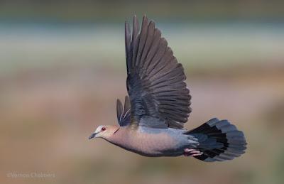 Red-Eye Dove - 35 Bird Species Captured Around Woodbridge Island