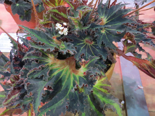 Philadelphia Flower Show 2020 - Begonia Breakdance