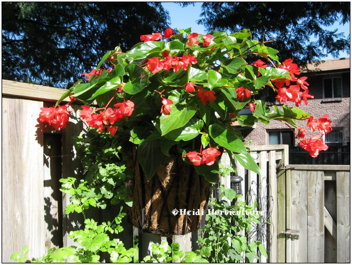 Heidi Horticulture: Plant Profile: Dragon Wing Begonia Red