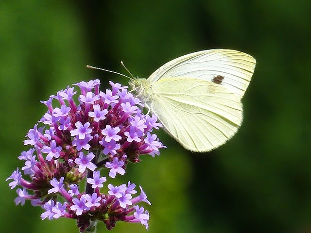 Picture of white butterfly on Verbena Bonariensis