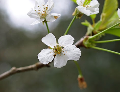 Cerezo silvestre (Prunus avium) flor silvestre blanca