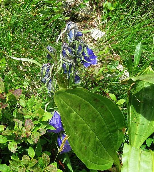 Dzwonek alpejski (Campanula alpina Jacq.).