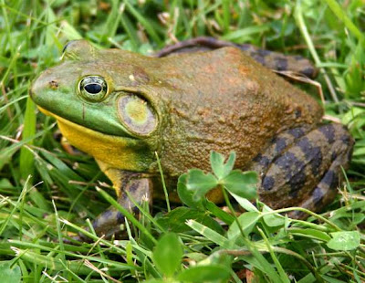 สัตว์สุดยอดคุณพ่อ, กบบูลฟร็อก (Bullfrog)