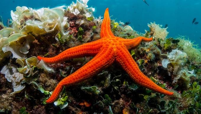 كيف يتكاثر نجم البحر بالتفصيل الممل