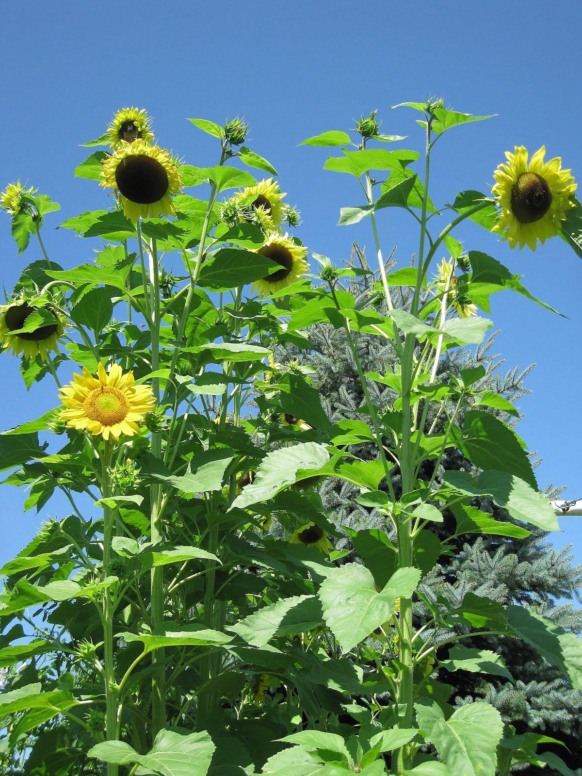 Nature Knitter: Sunflowers & Squirrels