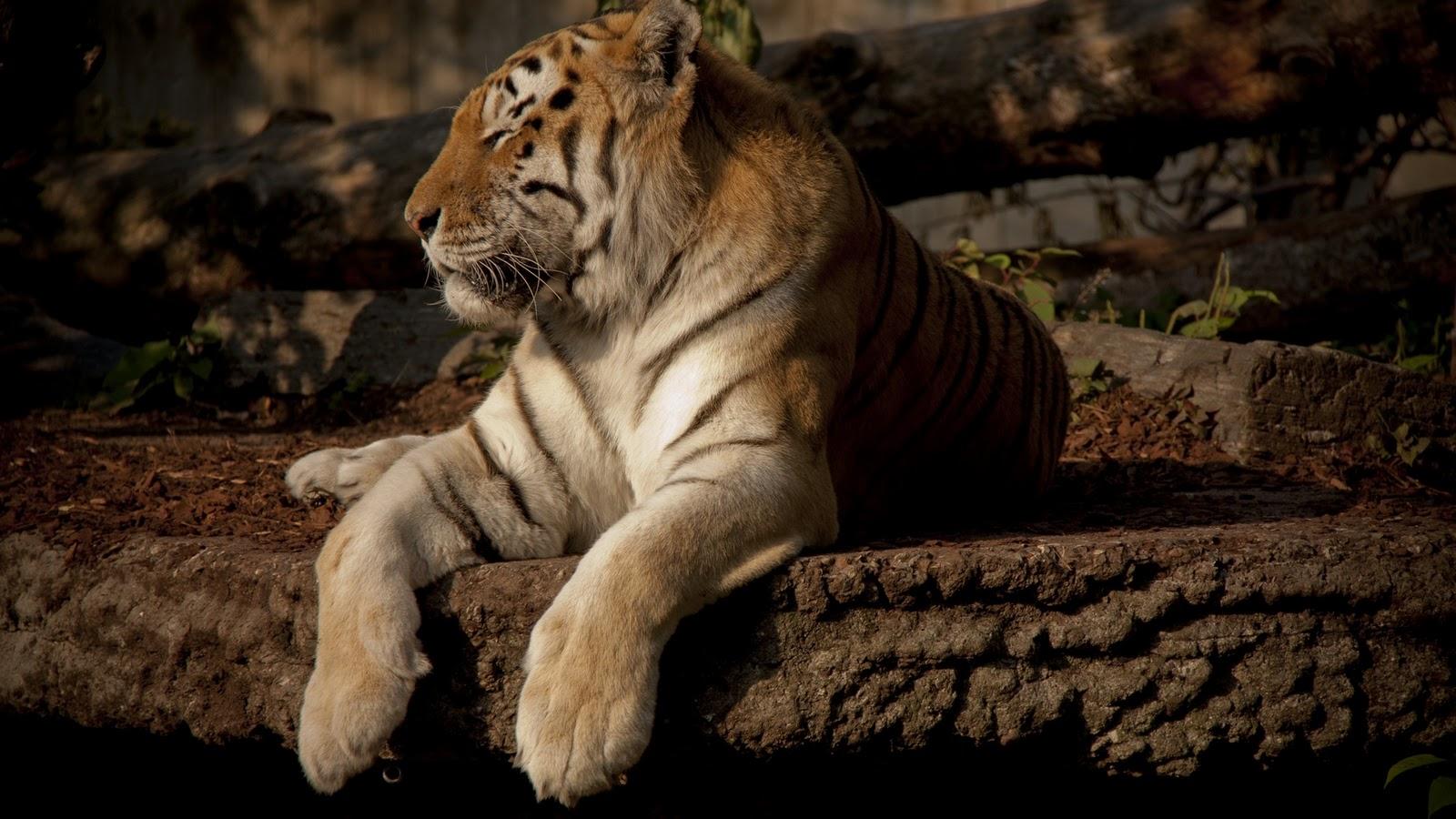 Tiger Hd Wallpapers: Desktop Wallapers